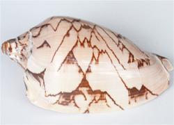 Shell-Medium