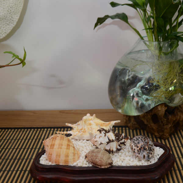 Murex Shell in a wooden tray with 4 other shells